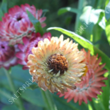 Apricot Peach Strawflower
