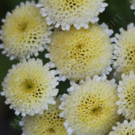 Feverfew Magic Lime Green