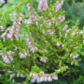 clethra pepper bush seeds