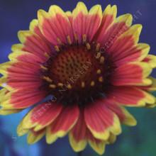 Gillardia grandiflora 'Arizona Sun' Seeds