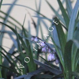 Northern Lights Ornamental Grass