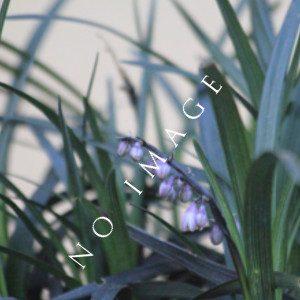 Indian Grass Sorghastrum Seeds