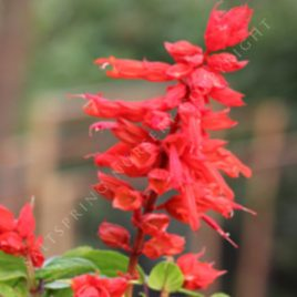 Salvia 'Vista Red'