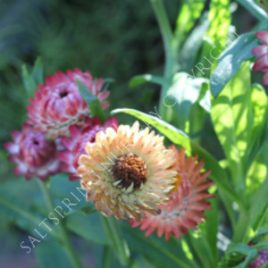 Strawflower 'Apricot Peach'