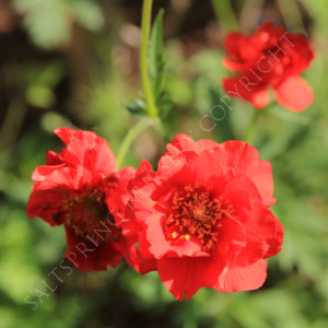 Geum 'Red Dragon' Seeds