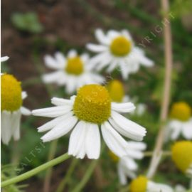 Chamomile recruita German Seeds