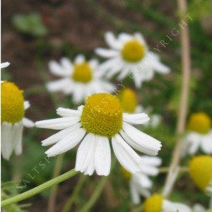 matricara recruita flowers