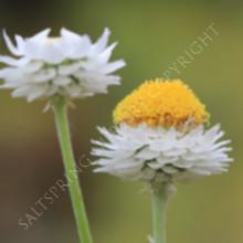 winged everlasting flowers