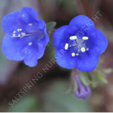 California Blue Bell Seeds