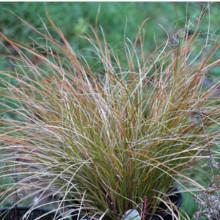 Carex 'Prairie Fire' Seeds