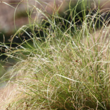 Carex Frosted Curls Seeds