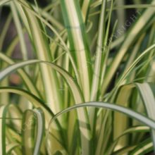 Looking Back Carex morrowii 'Evergold'