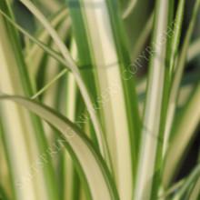 Carex morrowii varigated sedge
