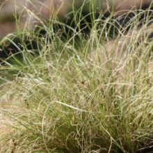 Carex comans ornamental grass
