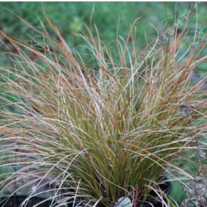 Carex Prairie Fire Seeds