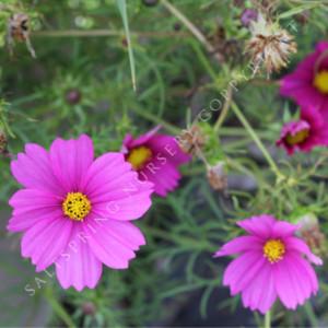 Cosmos Dwarf Purple Seeds