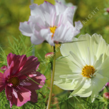 cosmos tall mix seeds