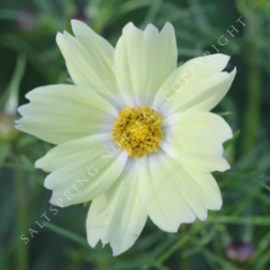Cosmos Dwarf Yellow Seeds