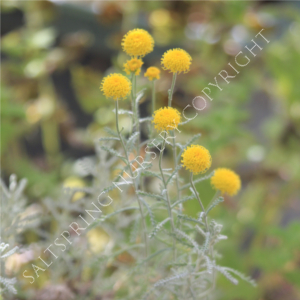 Lavender Cotton Santolinia Seeds