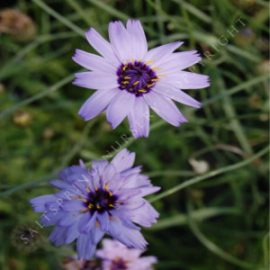Cupids Dart Catananche Seeds