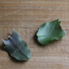 Cure shlumbergera cuttings