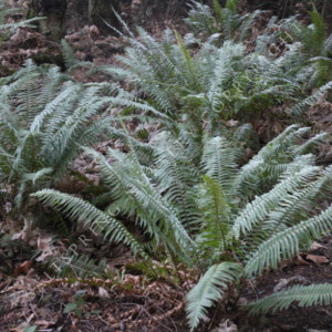 When To Cut Back Ferns