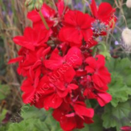 Geranium Calliope Deep Red Seeds