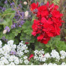 Pelargonium x hortorum Calliope Deep Red