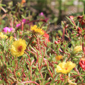 Moss Rose Double Seeds