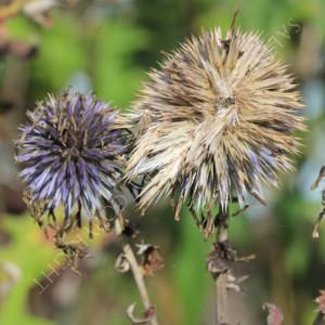 Echinops ritro flower