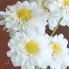 Feverfew Double Flower Seeds