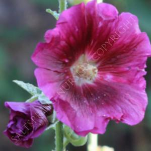 Hollyhock Deep Purple Seeds