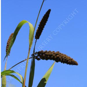 Millet Highlander Setaria Seeds