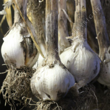Storing Garlic for longevity