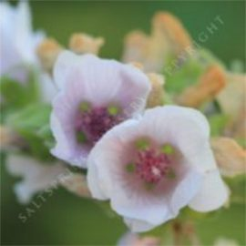 Marshmallow Althaea officinalis Seeds