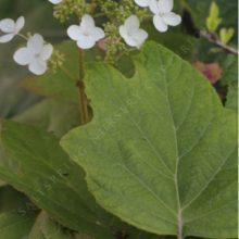 2019 Hydrangea quercifolia