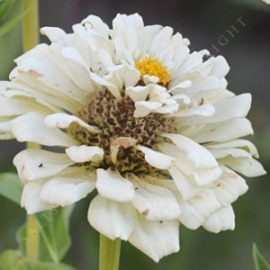 Zinnia 'Polar Bear' Seeds
