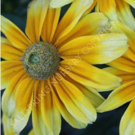Rudbeckkia 'Prairie Sun' Seeds