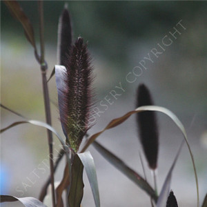 Purple Majesty Millet Seeds