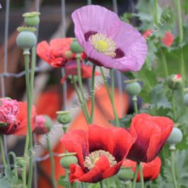 When To Sow Annual Poppy Seeds