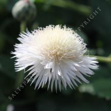 Sweet Sultan centaurea