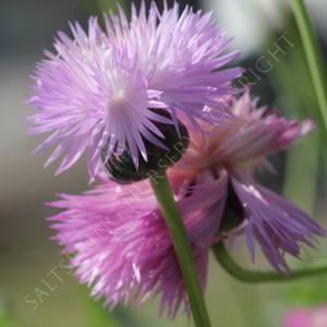 Sweet Sultan Imperialis Seeds