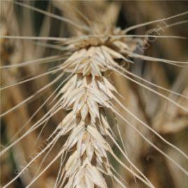 Winter Wheat Triticum Seeds