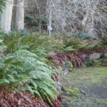 cut back sword ferns
