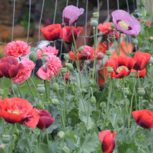 Sow Annual Poppy Seeds