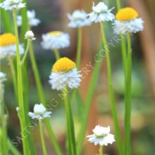 Winged Everlasting Ammobium Seeds