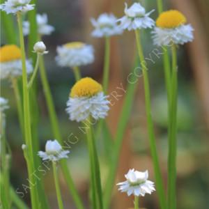 Ammobium alatum flower