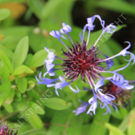 How To Grow Centaurea montana from seed