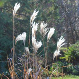 Miscanthus sinensis 'Gigantus' Seeds
