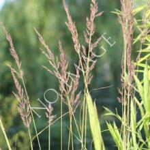 Prairie Drop Seed
